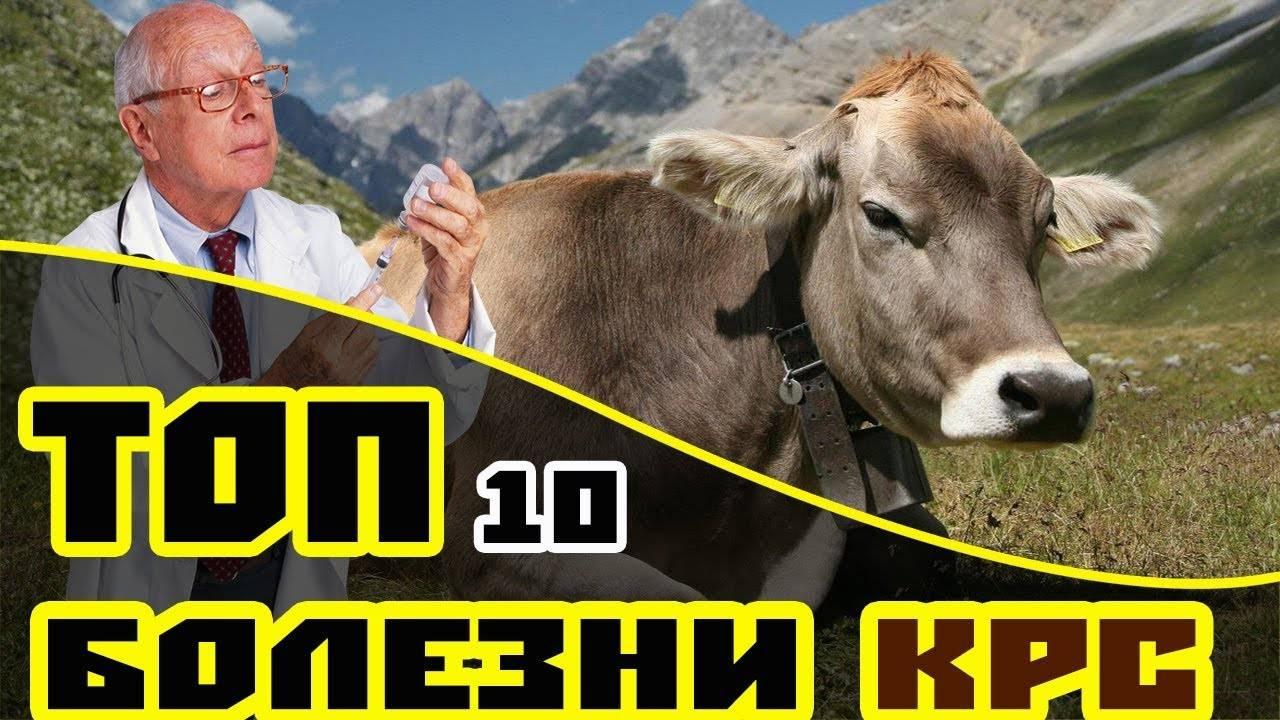 Температура тела у коровы: нормы, что делать если высокая