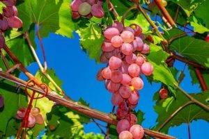 Подробное описание сорта винограда велес