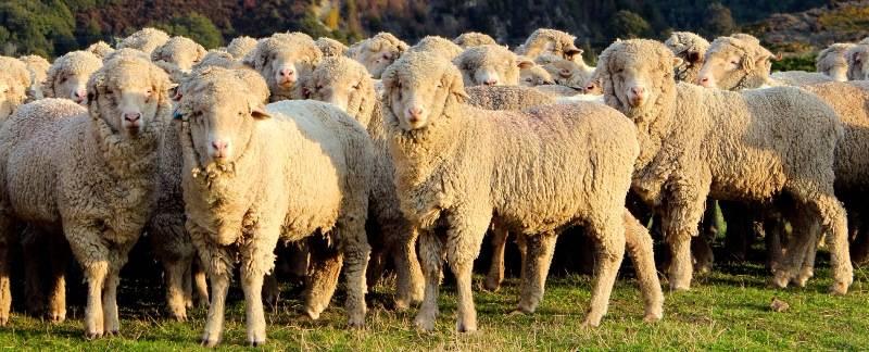 Овцы мериносовой породы