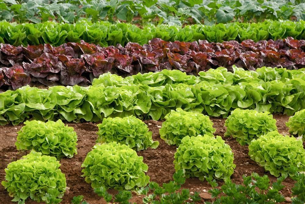 Костная, рыбная, кровяная мука как удобрение: как применять для томатов, картофеля, комнатных растений, отзывы