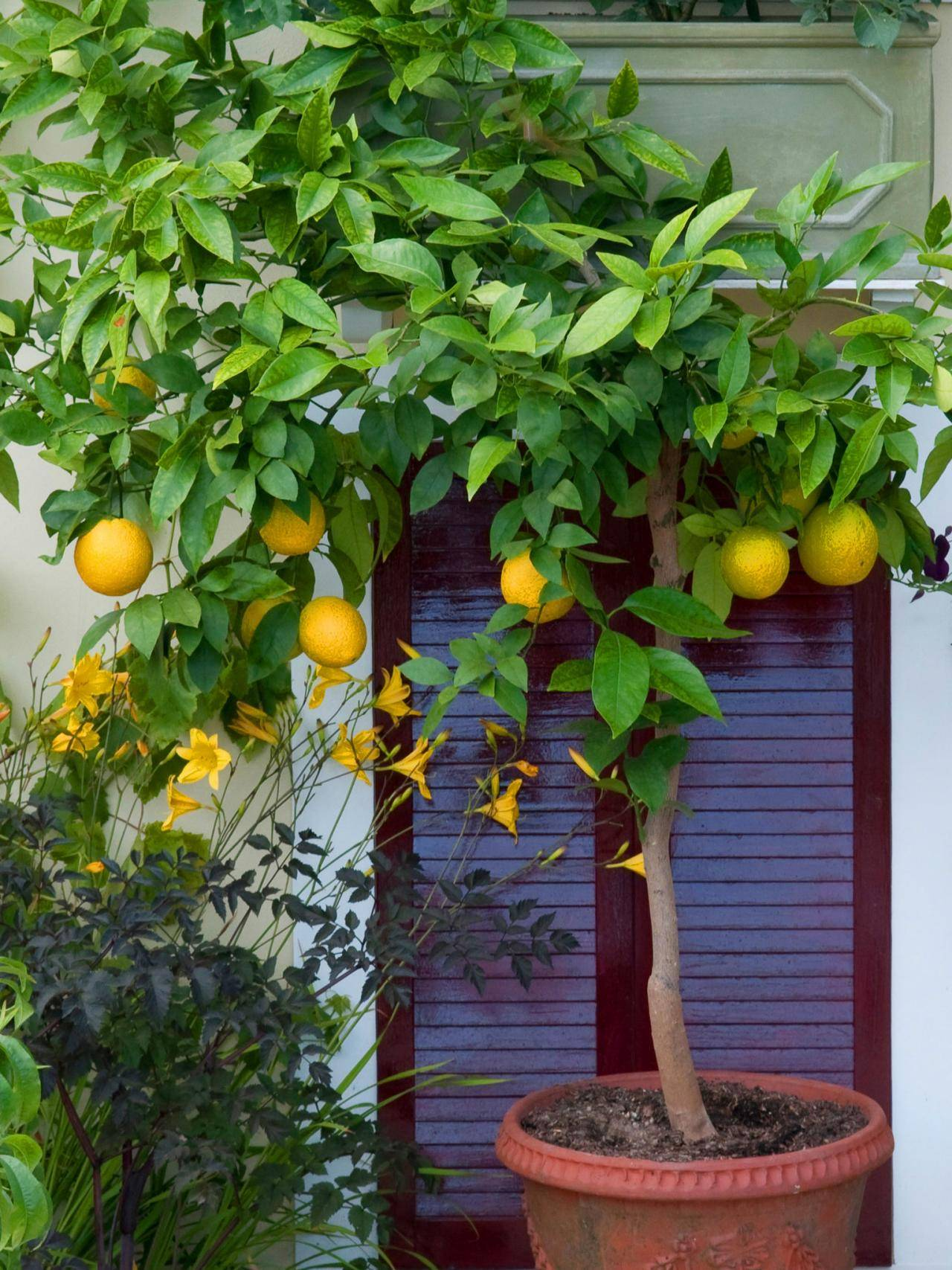 Апельсиновое дерево: уход в домашних условиях за цитрусом