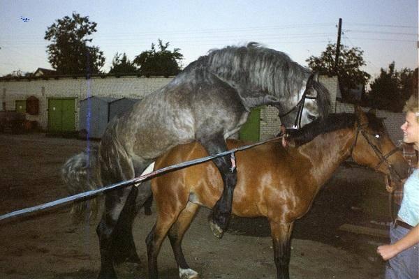 Спаривание лошадей: как происходит случка и охота у кобыл