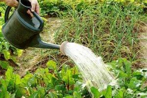 Как ухаживать за свеклой в открытом грунте, чтобы вырастить сладкий и крупный урожай
