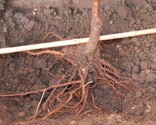 Как правильно посадить яблоню весной: опыт садоводов с видео