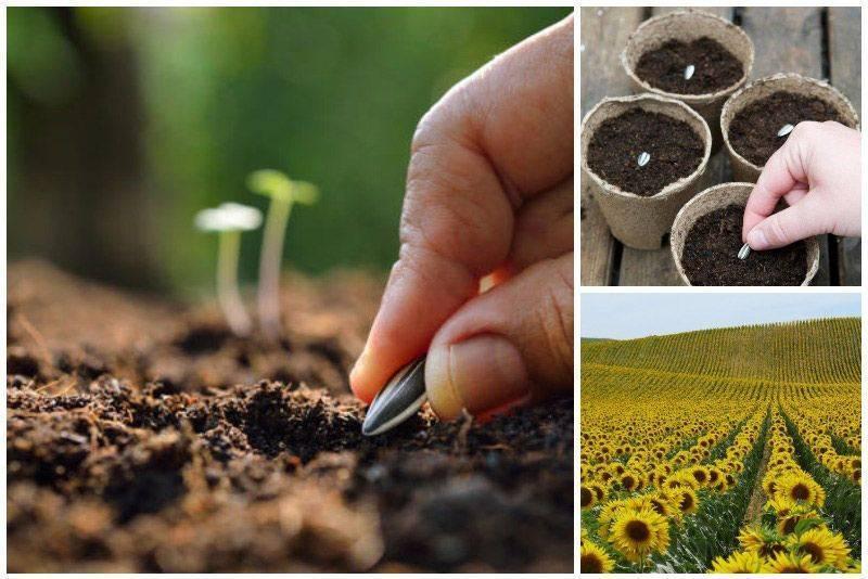 Когда сажать подсолнух в открытый грунт. как сажать подсолнух семенами