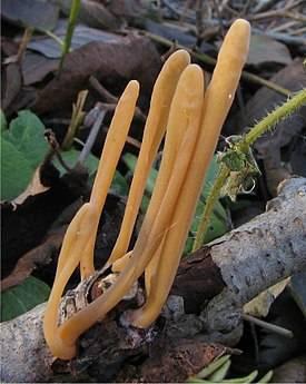 Рогатик – гриб съедобный или нет
