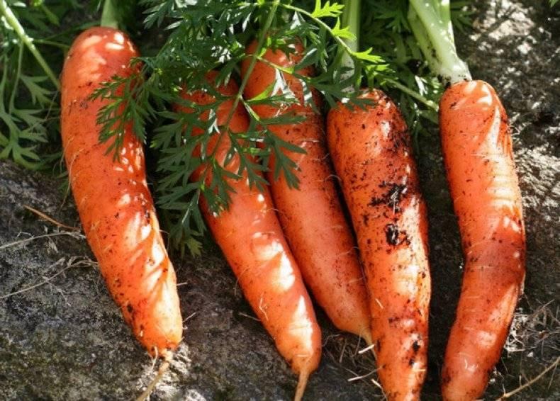 Морковь нандрин f1: отзывы, описание сорта — selok.info