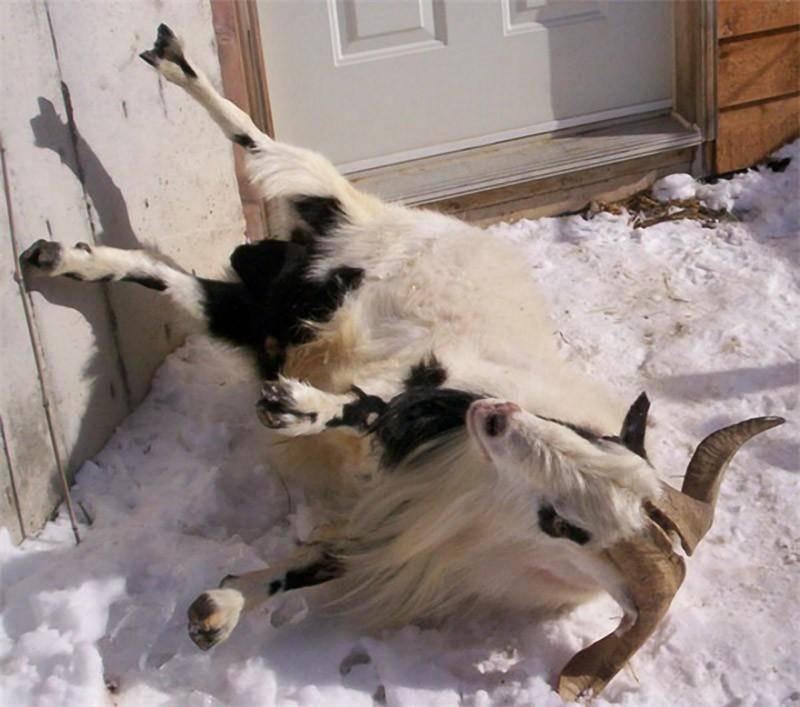 Чего боятся козы, которые падают в обморок