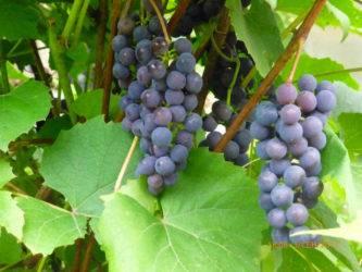 Виноград изабелла описание, когда собирать, чем полезен