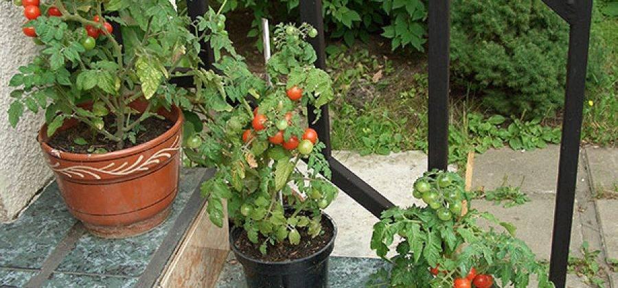 Помидоры на балконе: выращивание в пластиковых бутылках томатов черри