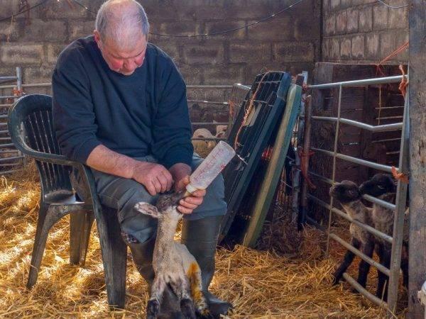 Кормление баранов на мясо – что едят и чем кормить 2021