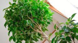 Фикус каучуконосный домашний: уход, размножение | 130+ фото