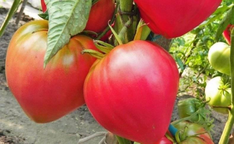 Самые популярные томаты для Сибири