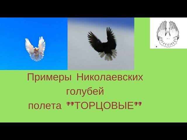 Голуби турманы (21 фото): характеристика искусственно выведенной породы голубей, способных кувыркаться во время полета. обзор курских, ленточных, брянских высоколетных и других разновидностей
