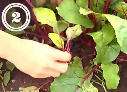 Выращивание свеклы: секреты, как получить хороший и крупный урожай с огородов и дачгде садят овощ и почему важна агротехника и пошаговый уход в открытом грунте русский фермер