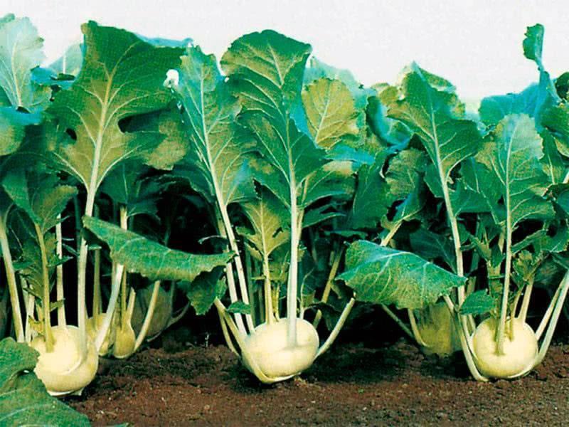 Как вырастить на своем участке необычную капусту — кольраби