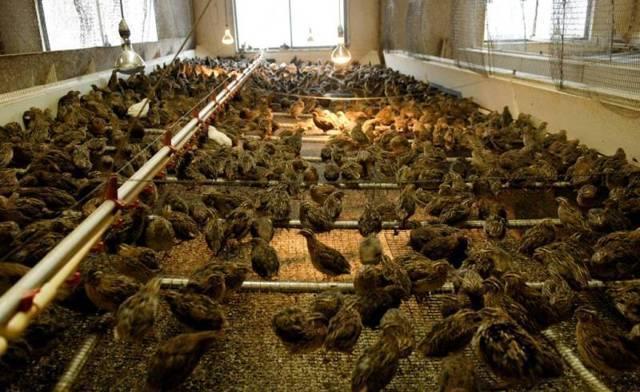 Перепелиная ферма или разведение перепелов как бизнес