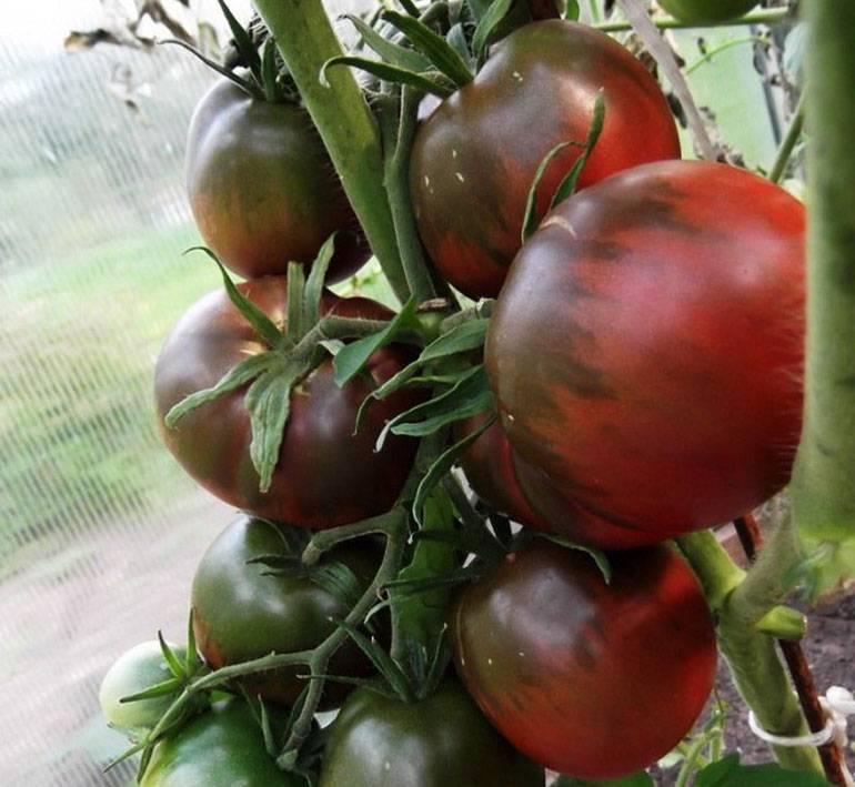 Описание с фото томатов «Черный принц» — отзывы о сорте