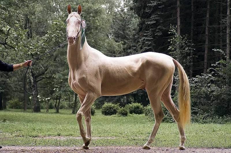 Невероятно редкая и красивая изабелловая масть лошадей-аристократов