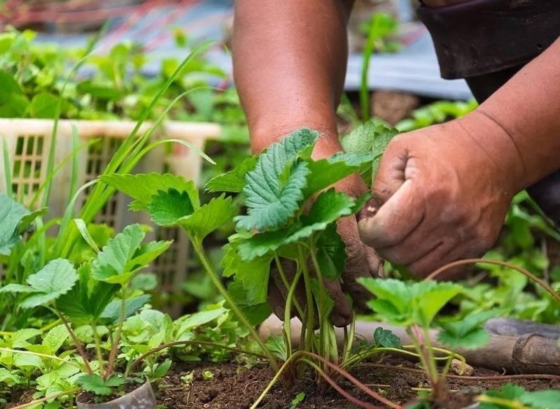 Уход за клубникой во время цветения и плодоношения: обработка, полив, подкормка