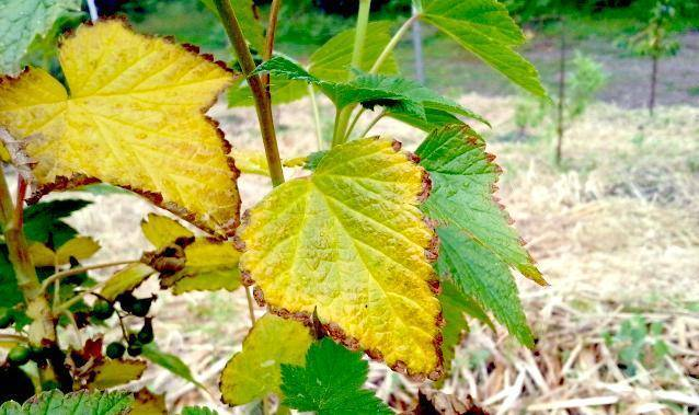 Советы, что делать, если на смородине красные выпуклые пятна на листьях | красивый дом и сад