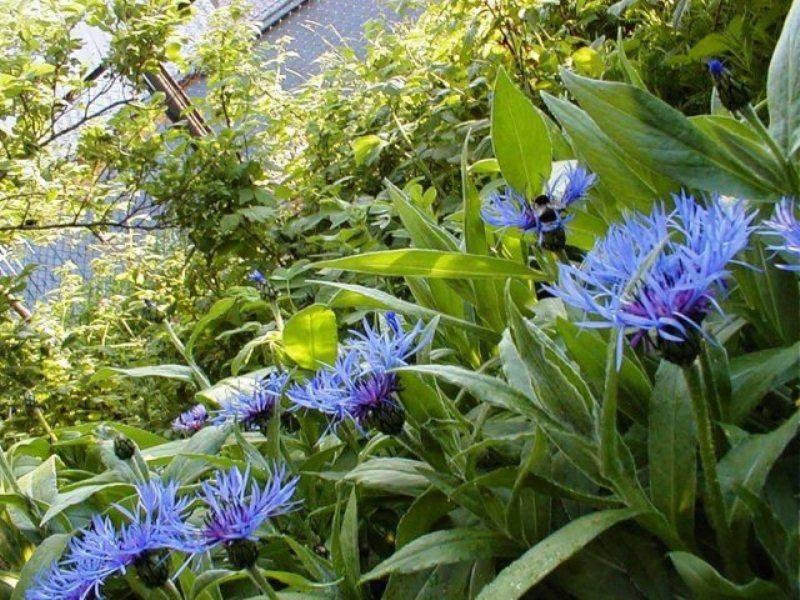 Выращивание васильков из семян, посадка васильков и уход в саду, размножение васильков делением