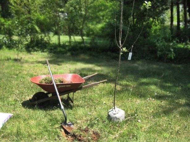 Посадка яблони осенью: когда и как посадить, пошаговое руководство