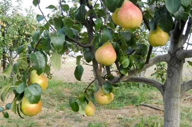 Как правильно посадить грушу осенью: пошаговое руководство
