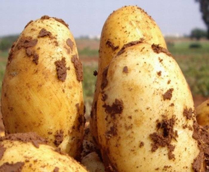 ᐉ сорт картофеля «уладар» – описание и фото - roza-zanoza.ru