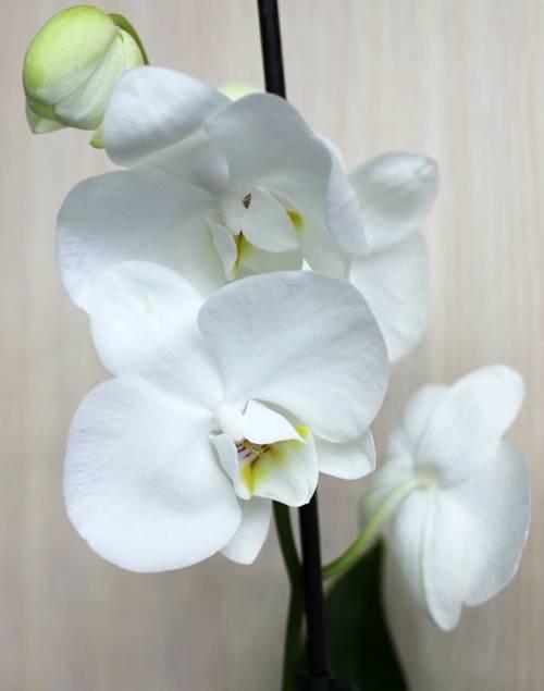 Оптимальный уход за синей орхидеей в домашних условиях