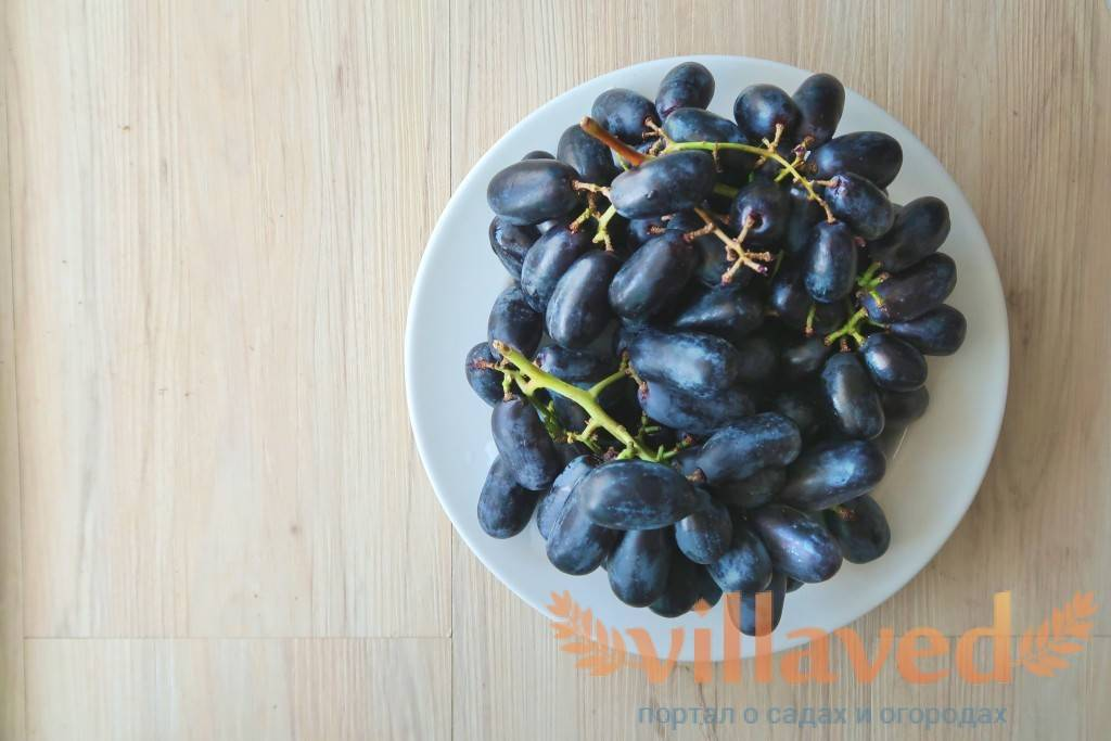Виноград сувенир: описание и характеристика сорта, правила ухода и урожайность