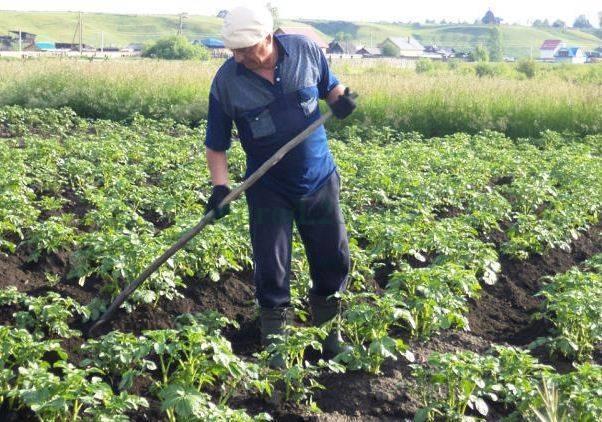 Когда и как окучивать картофель: сроки, правила, сколько раз проводить процедуру
