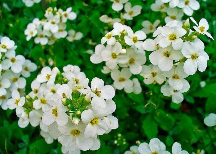 Цветок «Арабис»: описание, фото, посадка и уход