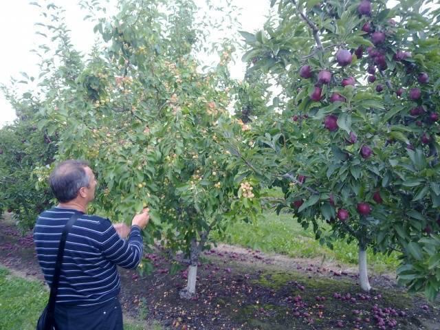 Яблоки ред делишес — объясняем тщательно