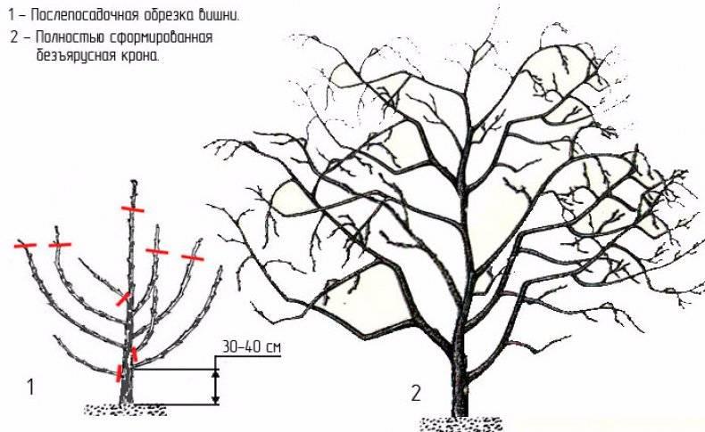Обрезка вишни осенью для начинающих в картинках в 2020 году