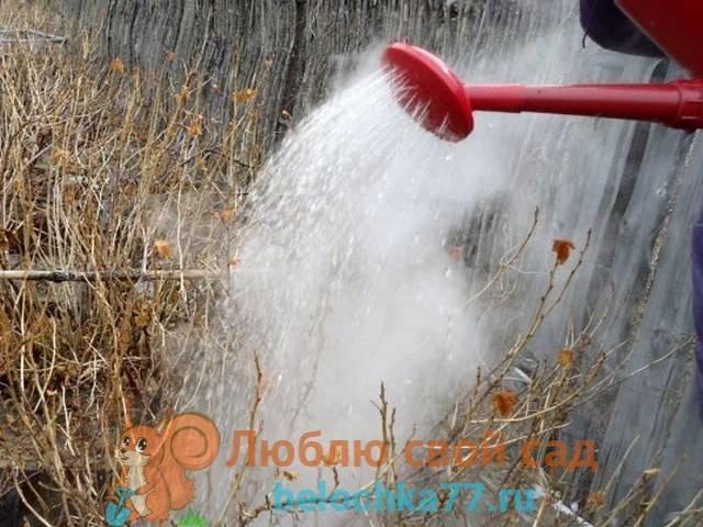 Чем обработать смородину осенью от вредителей