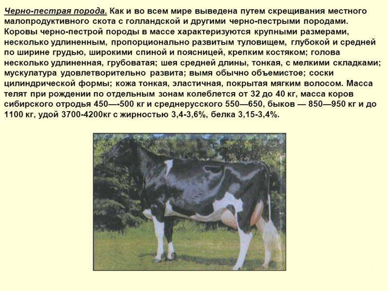 Комолая корова или бык: это порода крс, характеристики