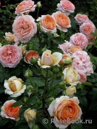 Роза чиппендейл (chippendale): описание сорта, фото, применение в ландшафтном дизайне + особенности посадки и ухода