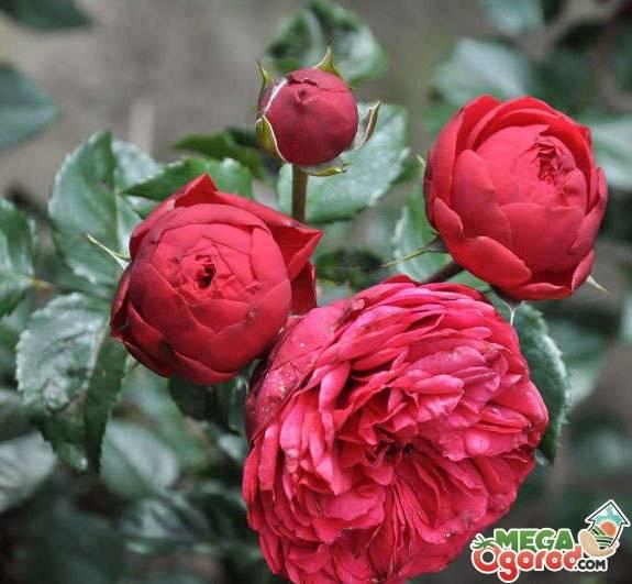 Полиантовые розы: виды и сорта - описание, применение, размножение, уход, посадка, фото