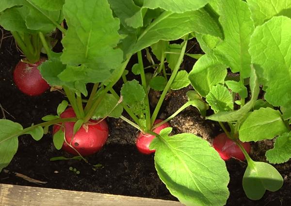 Как посадить редиску в открытый грунт семенами?