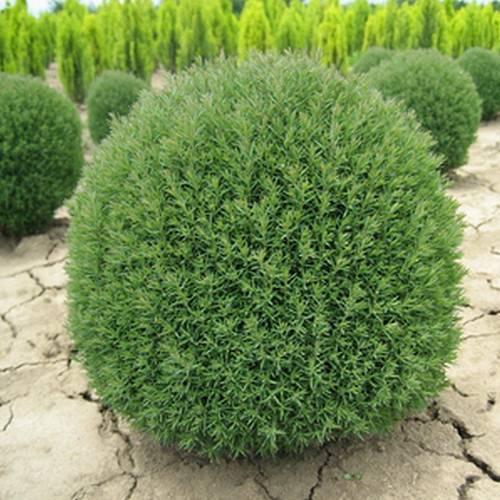 Туя западная фото и описание сортов посадка и уход выращивание из семян размножение черенками