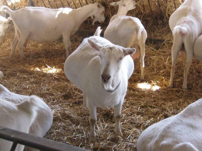 Беременность и окот козы - правила ухода от случки до окота