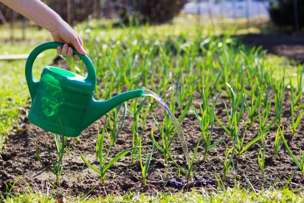 Желтеет чеснок на грядке весной: причины