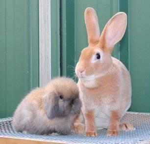 Такие необычные декоративные кролики: интересные факты