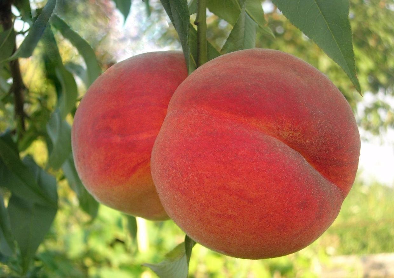 Персик ред хевен: описание сорта, достоинства, характеристика плодов, технология посадки, особенности ухода, отзывы и рекомендации