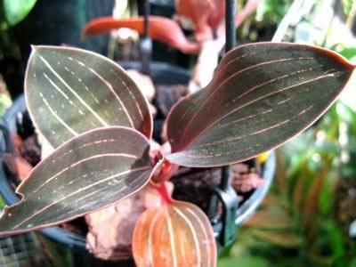 Лудизия – разновидности сортов с фото, уход и пересадка, способы размножения орхидеи в домашних условиях