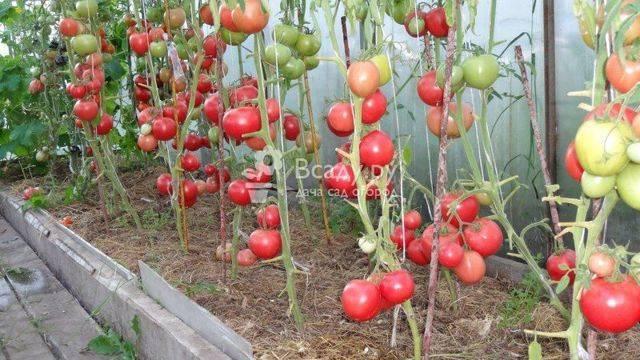 Томат малиновое чудо: описание и характеристика сорта, урожайность с фото