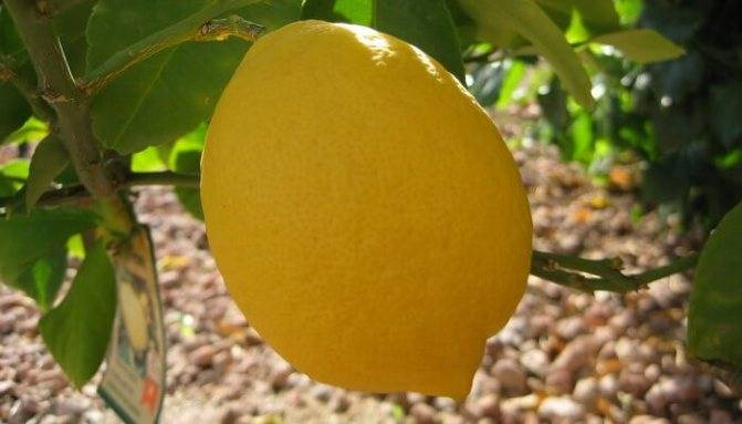 Сорта лимонов с фото и описанием: для домашнего выращивания, гибриды