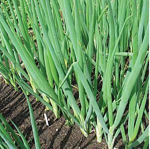 Лук батун из семян: как и когда сеять в грунт, как выращивать