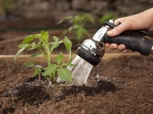 Первая подкормка рассады помидор   огородовед